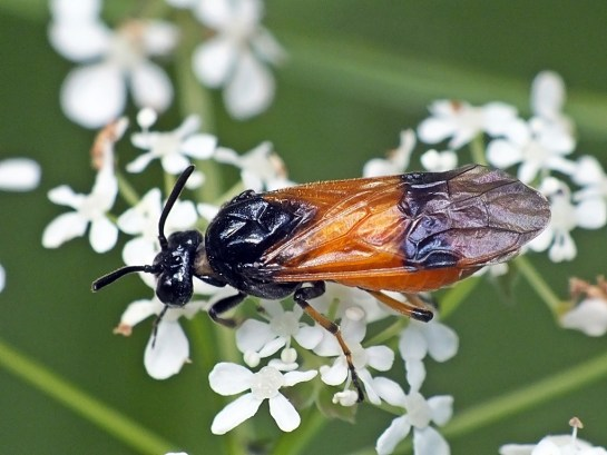 A.cyanocrocea