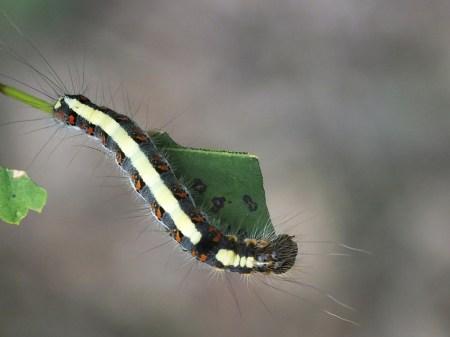 A.psi caterpillar