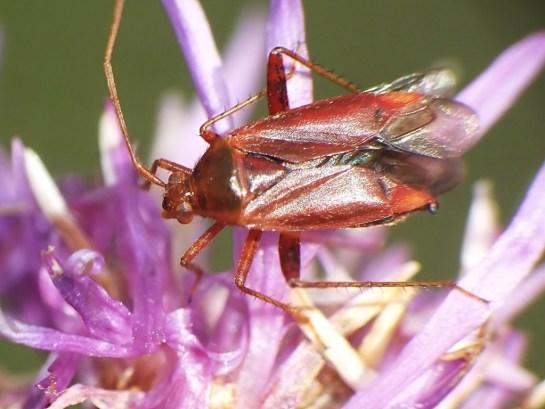 Ad. ticinensis