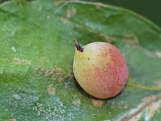 M.fagi