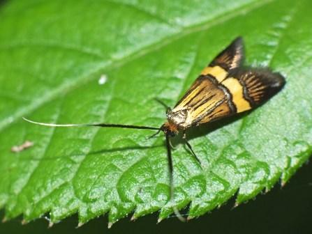 Nemophora