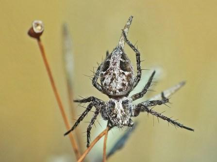 O.ramosus