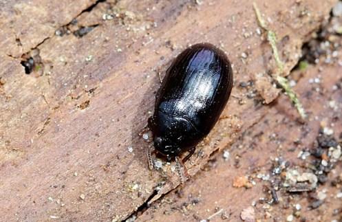 P.violaceum
