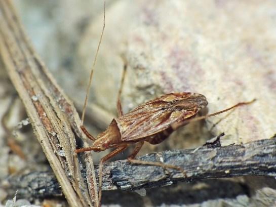 Ph. varipes