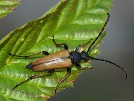 S.rubra male