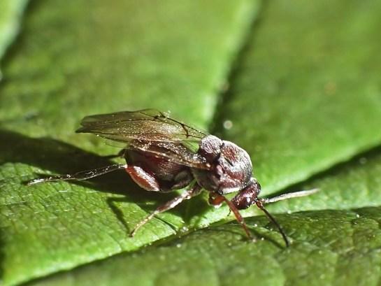 andricus-species