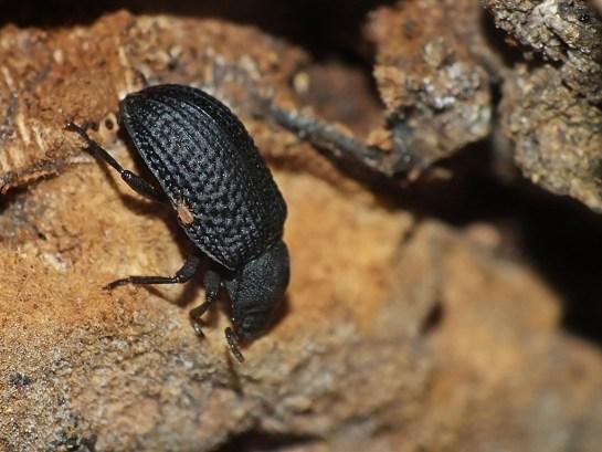 b-reticulatus