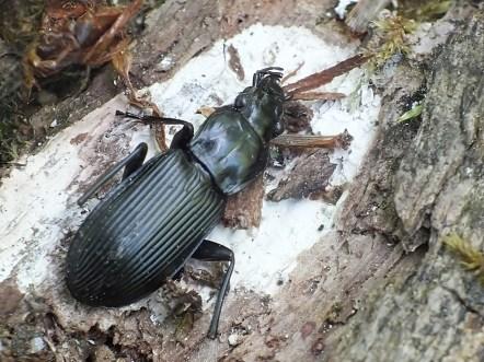 Wigierski Park Narodowy 25.05.2016 Martwy osobnik znaleziony na powalonym drzewie w towarzystwie resztek innych chrząszczy - przypuszczam, ze odnalazłem stołówkę jakiegoś ptaka