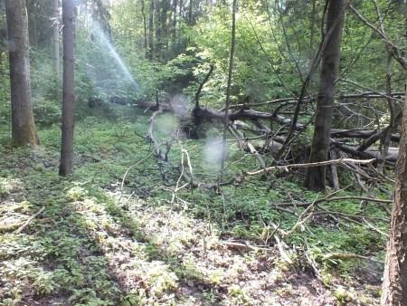 Topole w samym sercu wigierskiego lasu