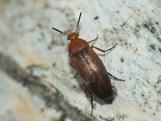 An. flava