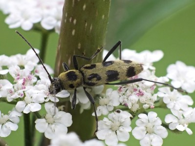 C.herbstii