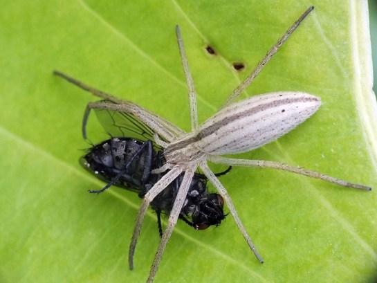 T.oblongus