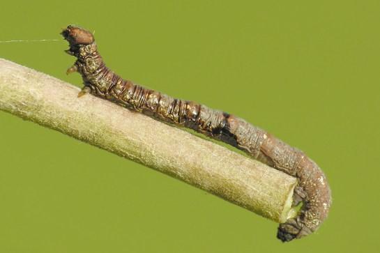 C.pusaria