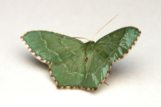 H.aestivaria