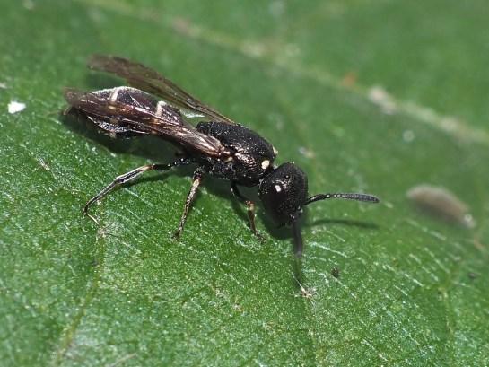 Microdynerus female