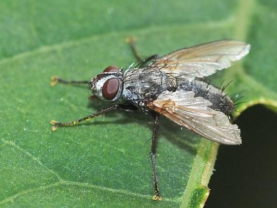 E.bohemani