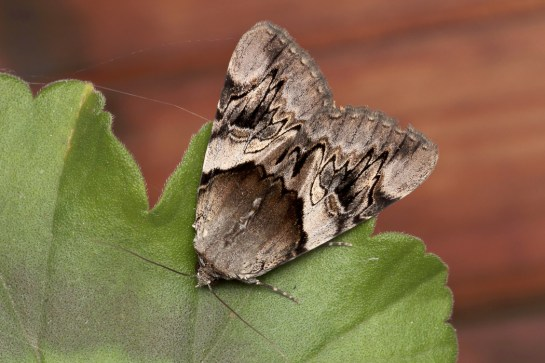C.fulminea