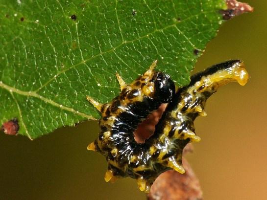 C.latipes
