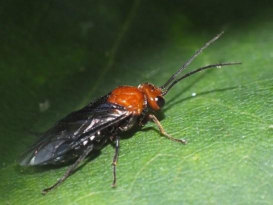 H.australis