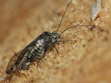 P.gibbosa