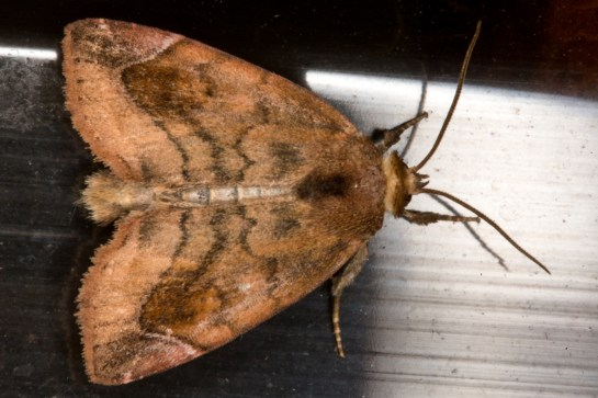 C.pyralina
