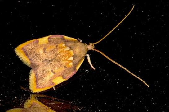 C.quercana