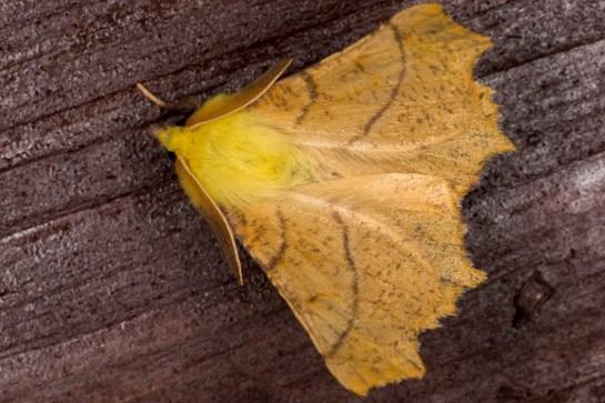 E.alniaria