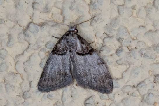 N.cucullatella