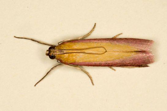 O semirubella