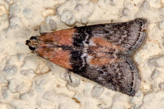 S.adelphella
