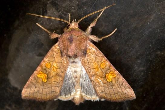 A.fucosa
