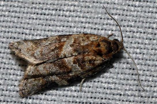 A.ljunigiana