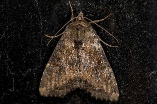 A.scolopacina