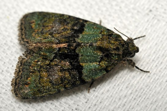 C.algeae