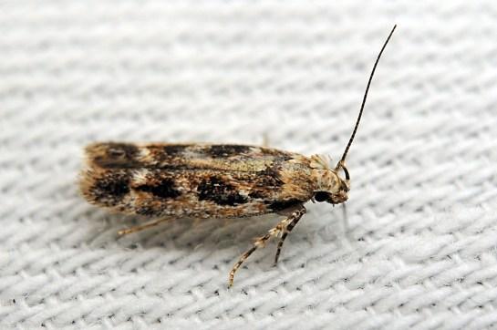 C.fischerella