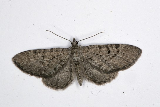 E.intricata