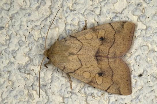 E.paleacea