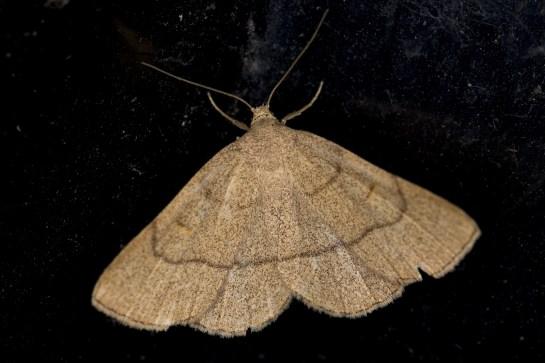 P.tristalis