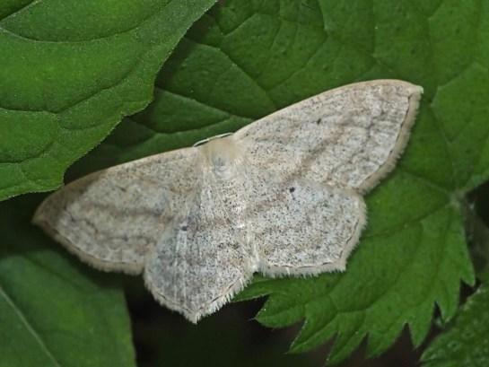S.nigropunctata