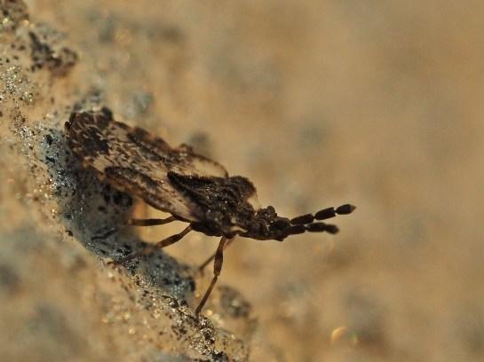 A.depressus