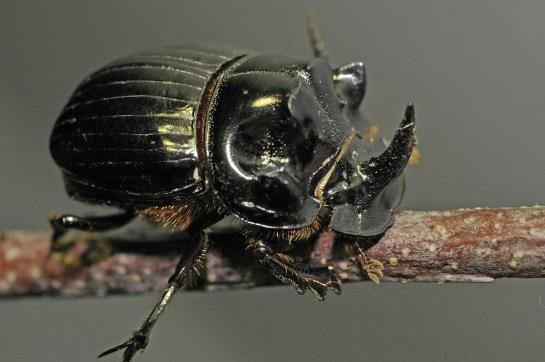 C.lunaris