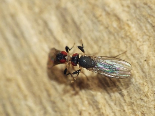 Ch. caudatula
