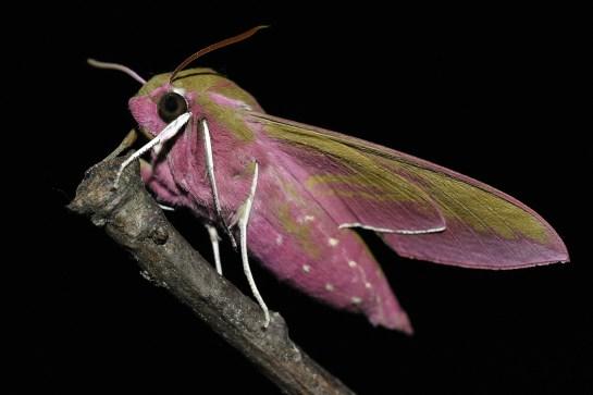 D.elpenor