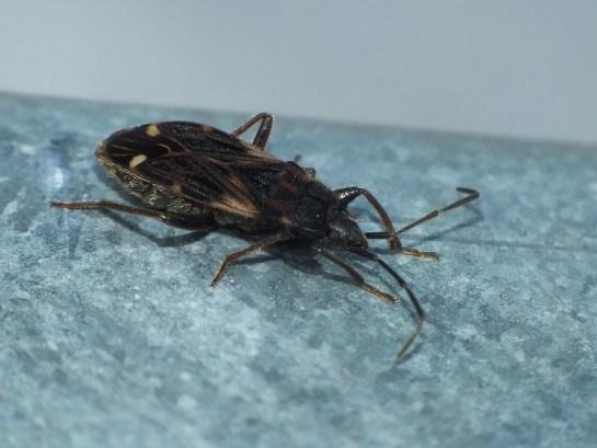 E.podagricus