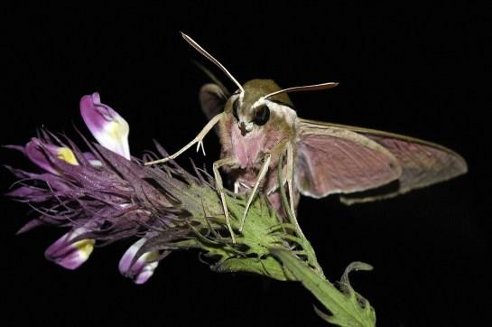H.euphorbiae