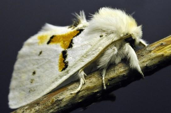 L bicoloria.