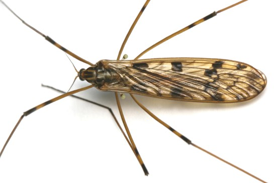 M.quadrimaculata