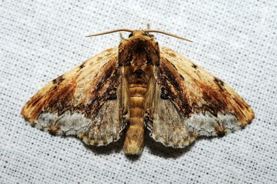 P.cuculina