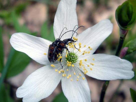 E.borealis in copula