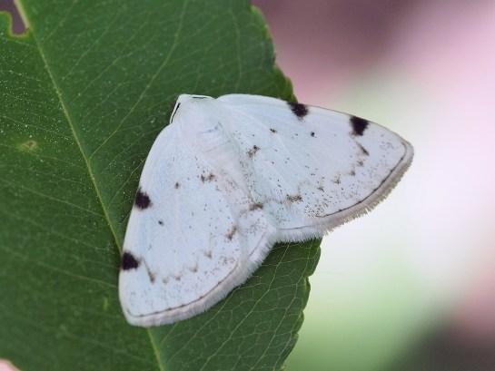L.bimaculata